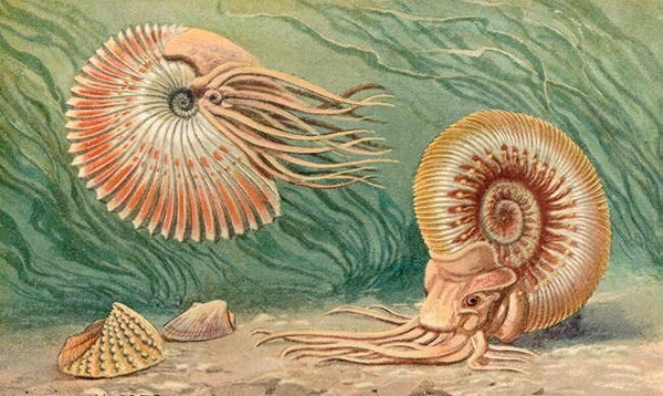 Моллюск аммонит
