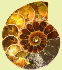 Симбирцит внутри аммонита